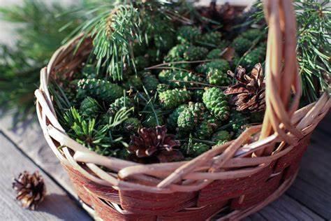 Как хранить сосновые шишки зеленые после сбора