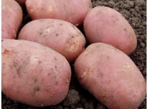 Хранение картофеля на зиму в домашних условиях